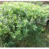 供应大叶黄杨、红花继木、紫薇等苗木