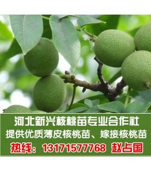 大量提供核桃苗枣树苗8518薄皮核桃