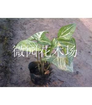 合果芋(白蝴蝶)