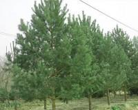 60油松盆景60油松市价60油松造型60平顶油松