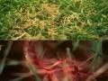 如何防治草坪红丝病 草坪红丝病防治方法