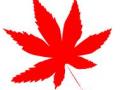 美国红枫的来源
