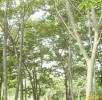榉树 (2)