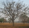 供应3---15的山桃树、山杏树、山楂树、苹果树、核桃树