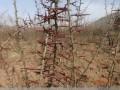 皂角树 造刺树