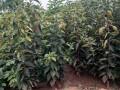甜柿子树苗种植