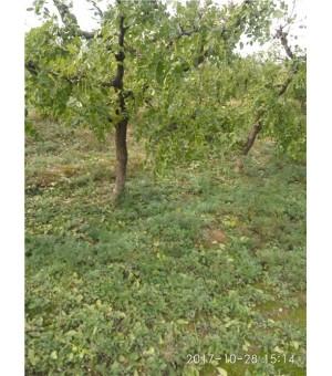 大规格枣树占地树,5公分枣树,10公分枣树,枣树苗