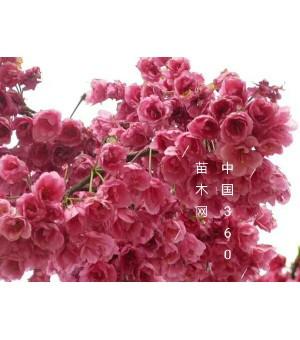 供应樱花(阳光樱、京红早樱)