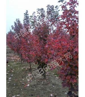 苗圃供应1-26公分美国红枫