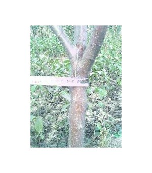 出售苹果苗  2-6公分苹果树13546598008