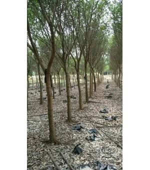 多规格绿化工程苗木基地直销红皮榕