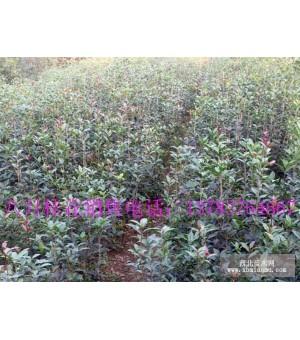 潢川绿化苗木供应,紫薇,红叶李,栾树,石楠