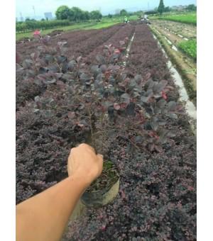 红花檵木工程苗种植基地 浙江红檵木小苗 杯苗供应商