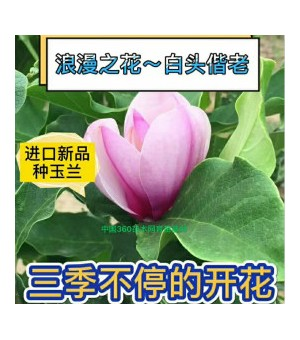 美国玉兰~进口三季开花的玉兰