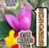 加拿大玉兰 新品种玉兰 进口玉兰 三季不停开花的玉兰 全球最好的玉兰