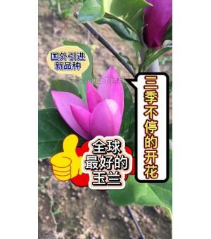 加拿大玉兰(天子玉兰)进口三季开花的玉兰